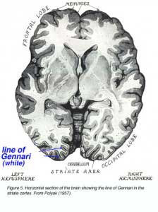 FIG5VisualCortex
