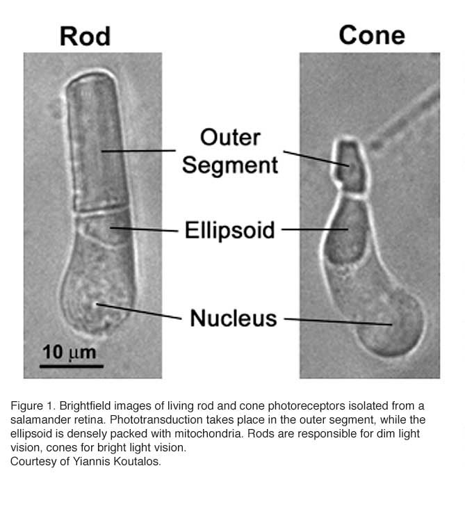 51 Phototransduction In Rods And Cones By Yingbin Fu Webvision