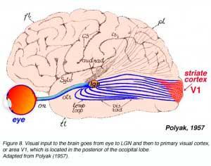 capas-cortex