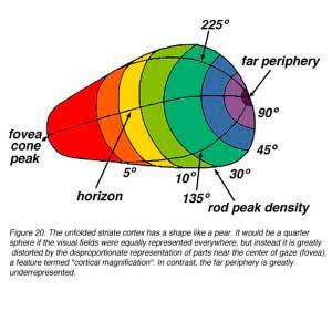 fovea-periphery