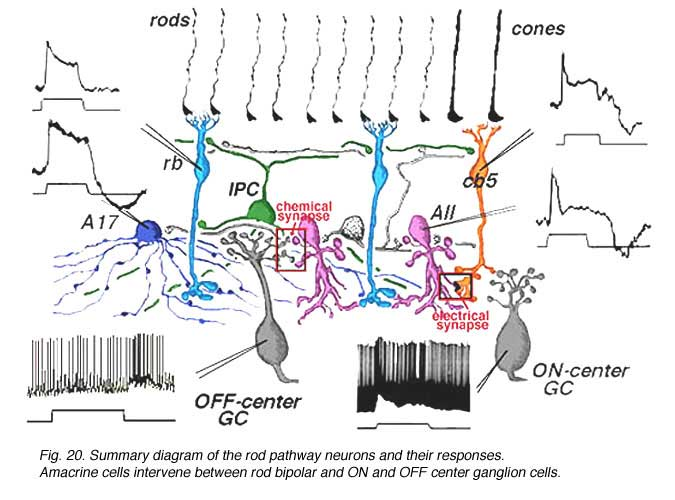31 circuitry for rod signals by helga kolb webvision neurons of the rod system in the cat retina with their anatomical connections we can construct a summary diagram of the likely pathway for scotopic ccuart Choice Image