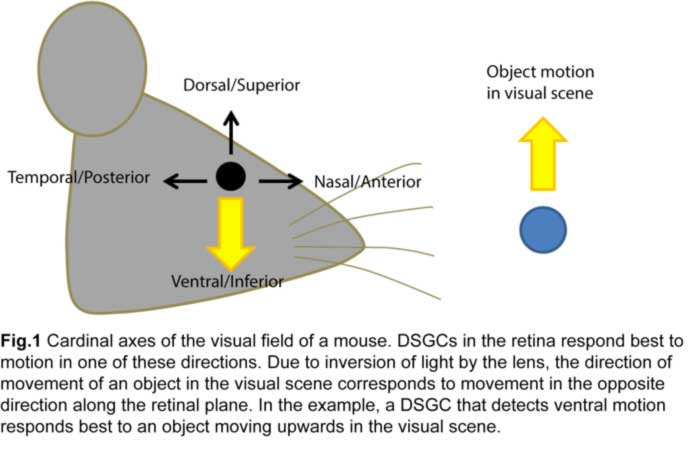 3.8 The Anatomy and Physiology of Direction-Selective Retinal ...