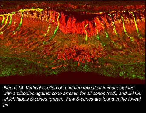 FoveaFig14 Figblueconesinfoveola